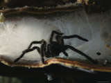 A Large Hairy Spider in its Funnel-Type Nest Photographic Print by Tim Laman