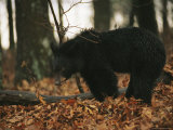 An American Black Bear Eating Acorns Photographic Print by Raymond Gehman
