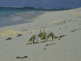 A Bold Ghost Crab Stands its Ground on a Sandy Beach Photographic Print by Bill Curtsinger