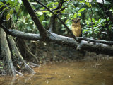 A Buffy Fish Owl Perched on a Tree Branch over a Stream Photographic Print by Tim Laman