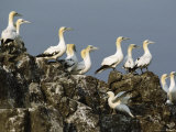 A Group of Northern Gannet Seabirds Perch on a Rock Formation Photographic Print by Klaus Nigge
