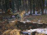 Two Young Siberian Tigers Sharpen Hunting Skills with a Game of Chase Photographic Print by Marc Moritsch