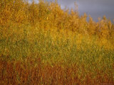 Sunset Illuminates the Autumn Colors of Willow Trees Photographic Print by Raymond Gehman