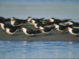 A Group of Black Skimmers Stand on a Sandbar Papier Photo par Joel Sartore