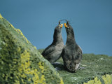 A Pair of Crested Auklets in Their Breeding Plumage Photographie par Joel Sartore