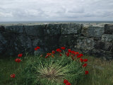 Poppies Growing by a Lichen-Covered Seawall, Denmark Photographic Print by Sisse Brimberg