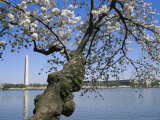 Cherry Trees Blooming in Spring Near the Washington Monument Photographic Print by Medford Taylor