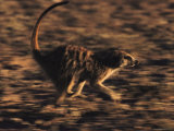 A Meerkat Runs with its Tail Held High and Eyes Sharp Photographic Print by Mattias Klum