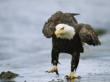 An American Bald Eagle Walks Intently Toward its Prey Fotografisk tryk af Klaus Nigge