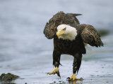 An American Bald Eagle Walks Intently Toward its Prey Fotografisk tryk af Klaus Nigge
