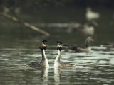 A Pair of Great Crested Grebes, Podiceps Cristatus Photographie par Klaus Nigge