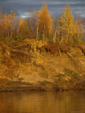 Birch Trees Topple into the Mackenzie River Due to Erosion Photographic Print by Raymond Gehman