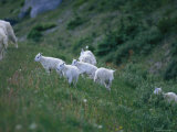 A Family of Mountain Goats on a Hillside in the Yoho National Park Photographic Print by Michael Melford