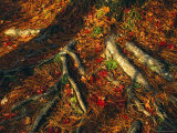 Oak Tree Roots and Pine Needles Covering a Woodland Trail Photographic Print by Raymond Gehman
