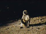 A Langur Monkey in Orissa, India Photographic Print by James P. Blair