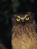 Tim Laman - A Buffy Fish Owl Fotografická reprodukce
