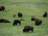 Adult Buffalo and Calves Graze in Custer State Park Photographic Print by Annie Griffiths