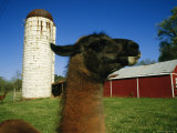 A Llama on a Farm in Virginia Photographic Print