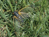 Close View of an Adult Brood X, 17-Year Cicada in Grass Photographic Print by Darlyne A. Murawski