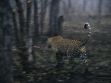 While Stalking a Duiker, a Leopard is Revealed by Noisy Monkeys Photographic Print by Kim Wolhuter