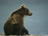 A Brown Bear Sitting on a Shore Fotografisk tryk af Klaus Nigge