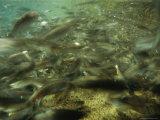 Steelhead Salmon Molts at Feeding Time at a Fish Hatchery in Idaho Photographic Print by Joel Sartore