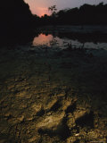 A Tiger Pugmark or Footprint in Mud at Twilight Photographic Print by Steve Winter