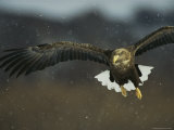 A White-Tailed Sea Eagle in Flight Fotografie-Druck von Klaus Nigge