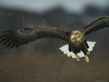 A White-Tailed Sea Eagle in Flight Fotografiskt tryck av Klaus Nigge