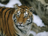 A Siberian Tiger Wanders in Her Outdoor Enclosure Photographic Print