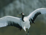 A Japanese or Red-Crowned Crane Stretching its Wings Photographic Print by Tim Laman