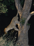 Panned View of a Leopard Leaping down from a Tree Photographic Print by Kim Wolhuter