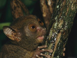 Wide-Eyed Tarsier Clinging to a Branch at Night Photographic Print by Tim Laman