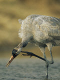 Common Crane Scratching While Standing in Water Photographic Print by Klaus Nigge