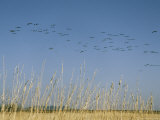Flock of Common Cranes in Flight over a Field Photographic Print by Klaus Nigge