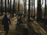Mongolian Woman Leads her Herd Through the Forest Photographic Print by Gordon Wiltsie
