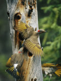 Trio of Northern Flickers Around a Nesting Hole in an Old Snag Photographic Print by Michael S. Quinton