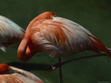 Greater Flamingo, San Diego Wild Animal Park, California Photographic Print by Phil Schermeister