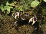 Purple Land Crab in a Defensive Posture in a Forest Photographic Print by Tim Laman