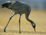 Common Crane Stooping to Eat Photographic Print by Klaus Nigge