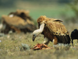 Griffon Vultures Eating as a Crow Watches Nearby Photographic Print by Klaus Nigge