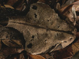 Well-Camouflaged Gaboon Viper near Iguela Inlet Photographic Print by Michael Nichols