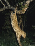 Leopard Bounds from its Perch in a Tree to Hunt for Food Photographic Print by Kim Wolhuter