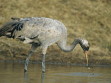 Common Crane Hunting for a Meal in Water Photographic Print by Klaus Nigge