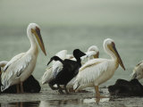Adult and Juvenile Eastern White Pelicans on a Mud Flat Photographie par Klaus Nigge