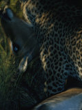 Blurred View of a Leopard Carrying its Kill Photographic Print by Kim Wolhuter