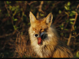 A Red Fox Yawning in Golden Sunlight Photographic Print by Norbert Rosing