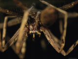 Close View of a Large Long-Legged Spider Photographic Print by Tim Laman