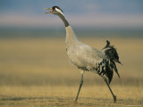 Common Crane Striding Through a Grassland Photographic Print by Klaus Nigge