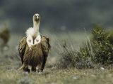 Portrait of a Griffon Vulture Photographic Print by Klaus Nigge